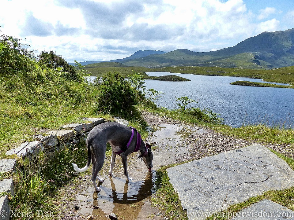 a blue and white whippet drinking from a puddle beside Lochan an Ais