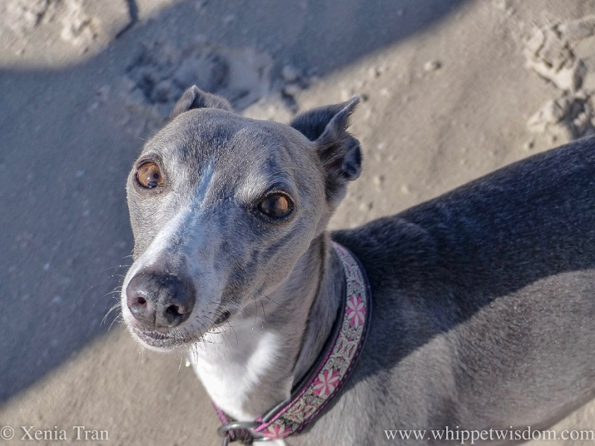 close up shot of a blue and white whippet on the beach looking up at the camera