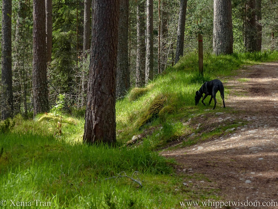 a black whippet sniffing the grass between pine trees