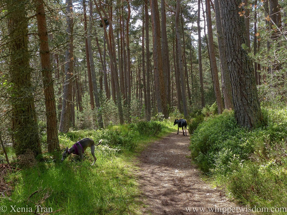 two whippets on a forest trail between douglas fir and pine trees