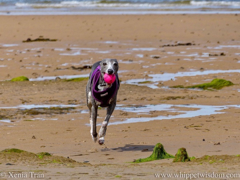 a smiling blue and white whippet with a pink ball in her mouth