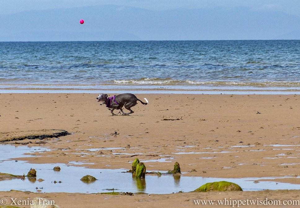 a smiling blue and white whippet crouching down to catch a pink ball on the beach