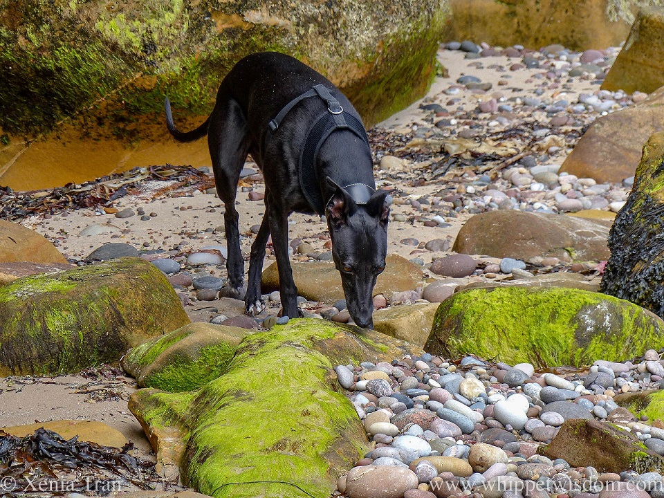 a black whippet in a black harness sniffing shingle and stones on the beach