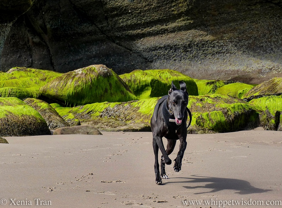 a smiling black whippet running across the beach