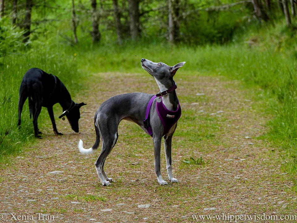 a blue and white whippet looking up at the tree with a black whippet sniffing the forest trail