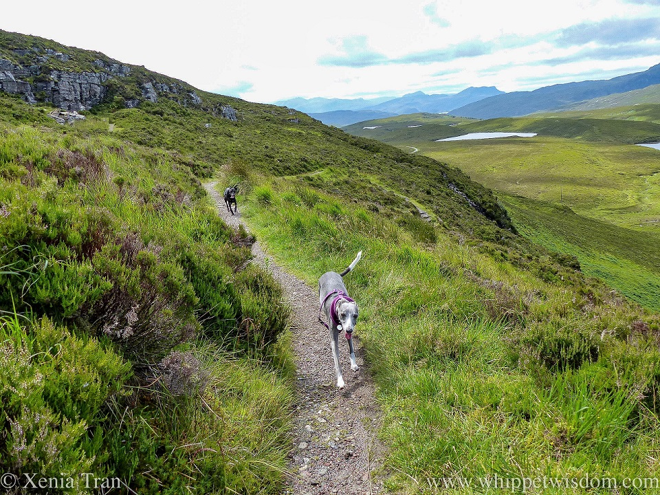 two whippets running on a trail near the top of Knockan Crag