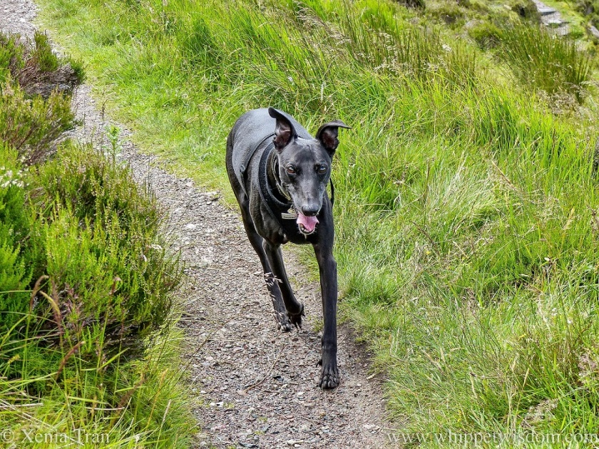 a smiling black whippet walking on a mountain trail