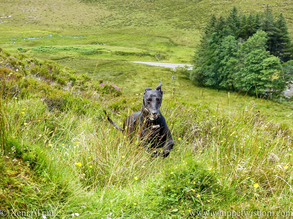 a smiling black whippet leaping up a hillside through wildflowers and grass