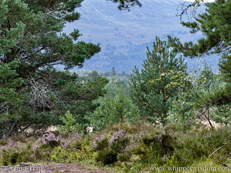 Cairngorms National Park pine trees and heather in bloom