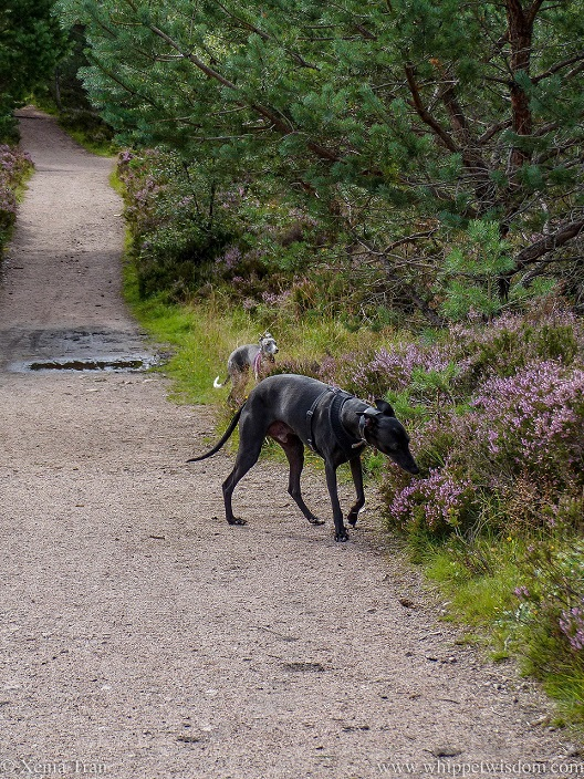 two whippets on a forest trail with pine trees and blooming heather