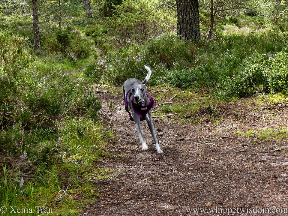 a blue and white whippet running along a narrow forest trail into a clearing