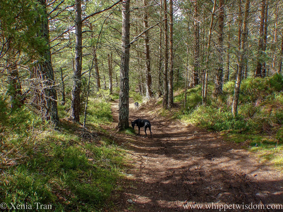 two whippets walking along a forest trail in summer's dappled light