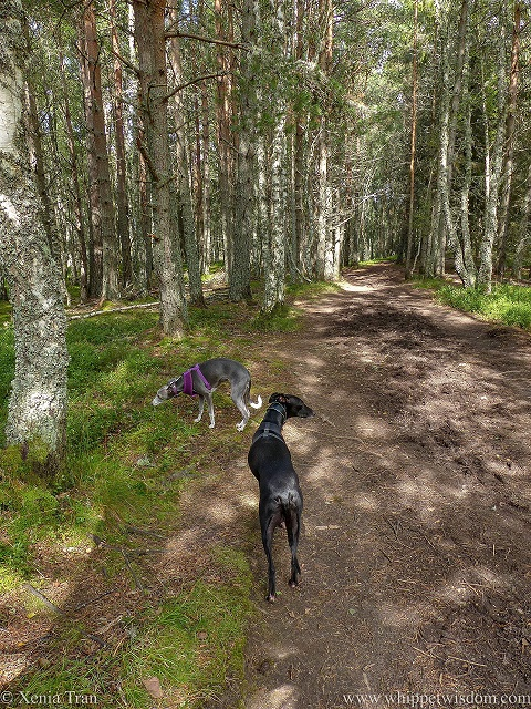 two whippets on a forest trail in dappled light
