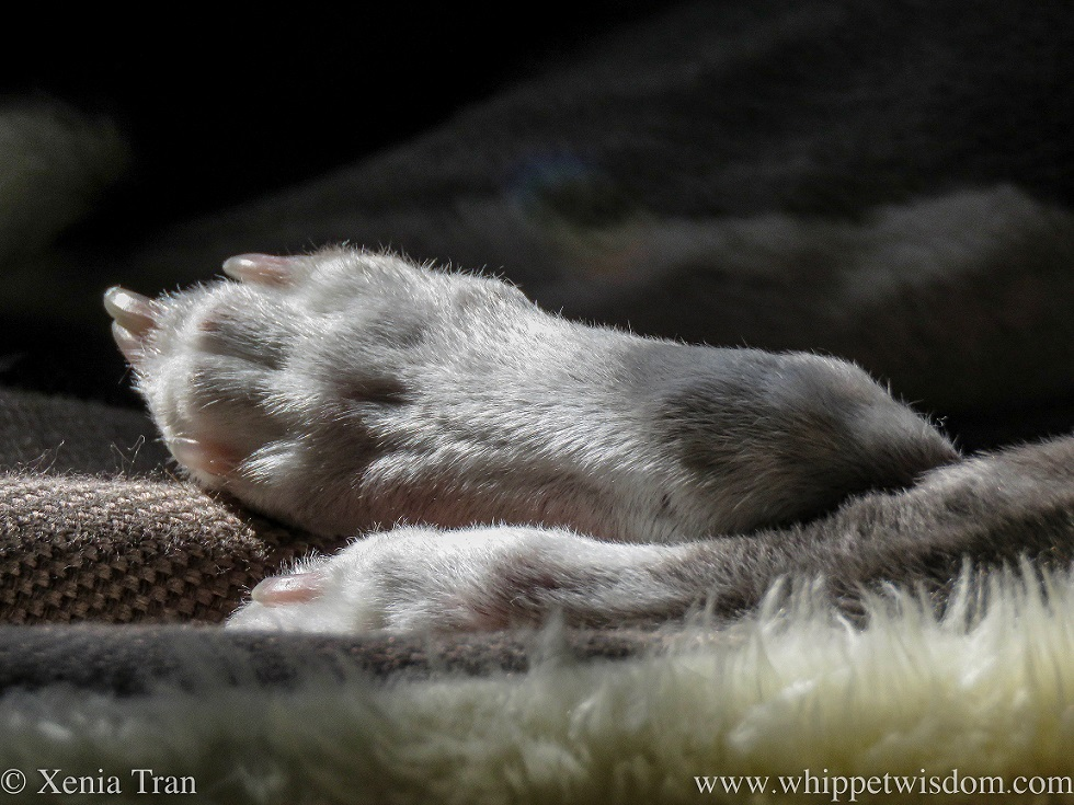 close up shot of a snoozing blue and white whippet's front paws