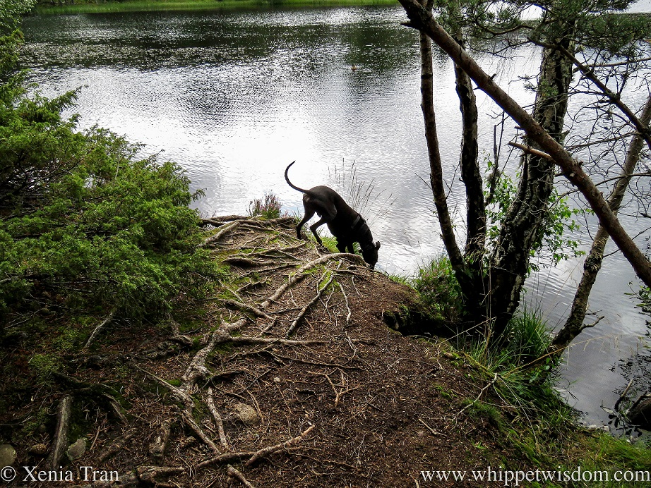a black whippet leaning down from the banks of the loch to drink the water