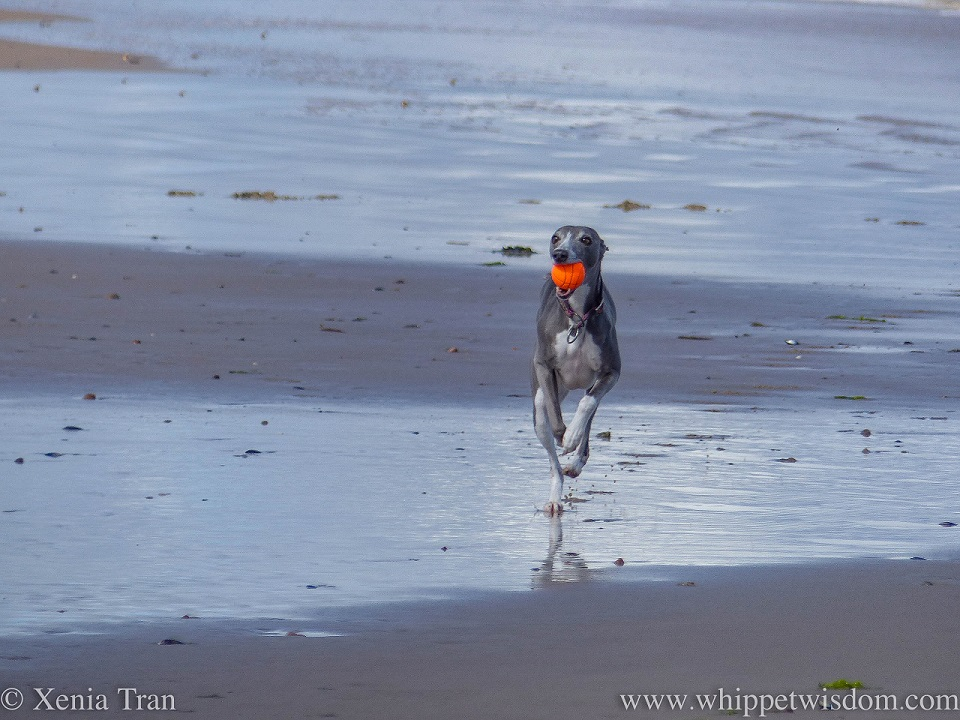 a blue and white whippet running along tidal sands with an orange ball