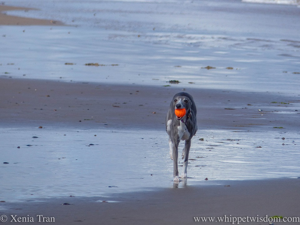 a blue and white whippet running along tidal sands with an orange ball in her mouth