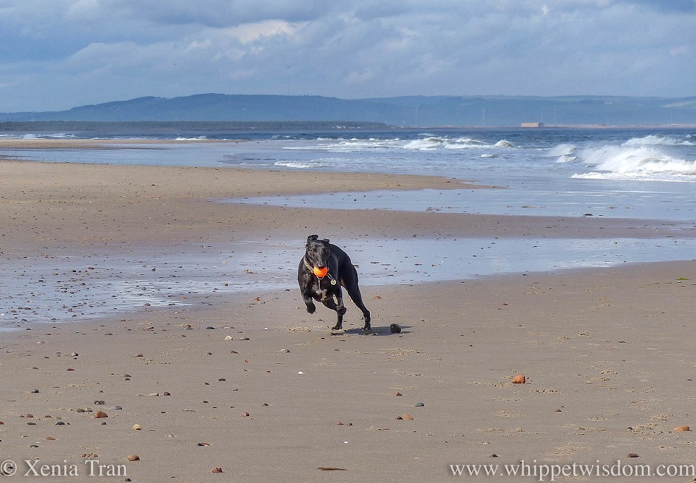 a black whippet running in strong winds along the beach with an orange ball