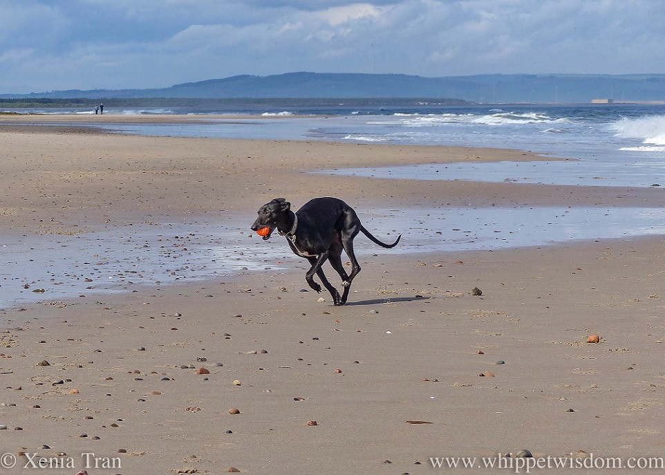 a black whippet running on the beach with an orange ball