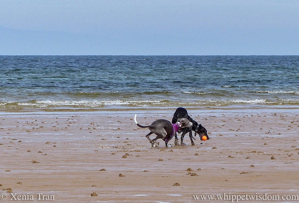 a black whippet catching an orange ball on the beach, followed by a blue and white whippet