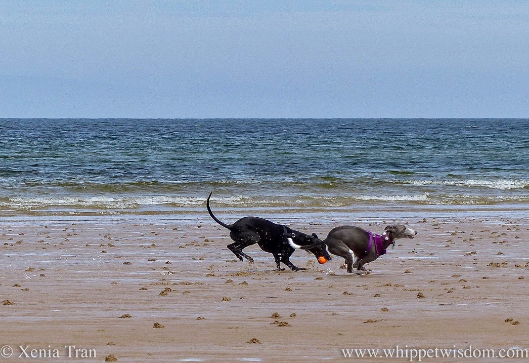 a blue and white whippet and a black whippet running on a breezy beach