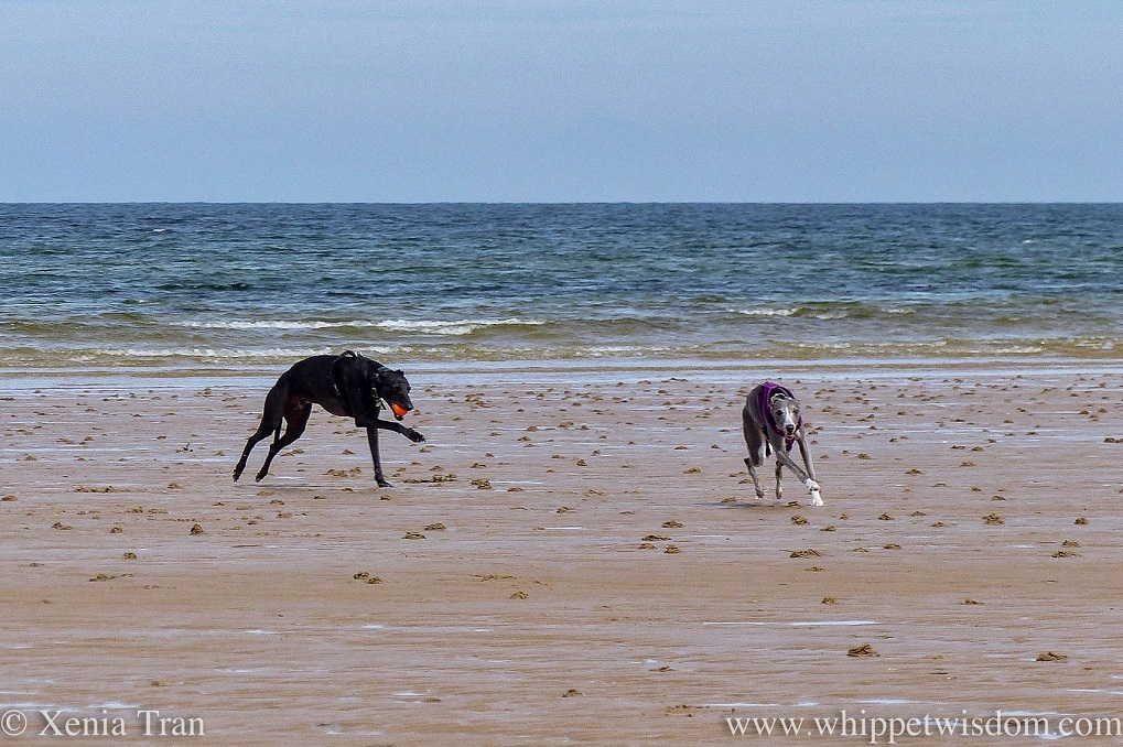 two whippets running on tidal sands beside the sea