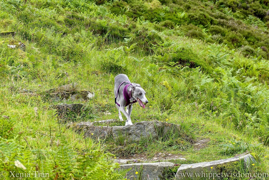 a blue and white whippet walking down stone steps among green ferns, grass and wildflowers