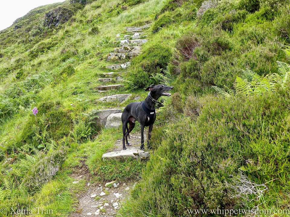 a black whippet on the steps of a mountain trail in Summer