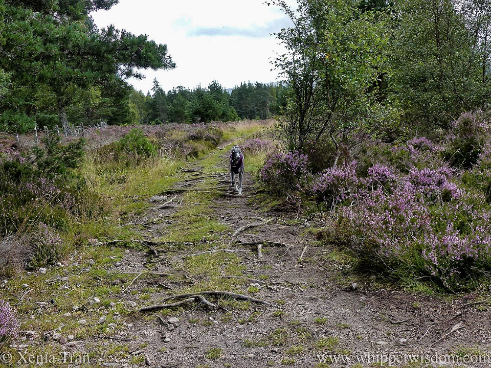 a blue and white whippet running between blooming heather and pine