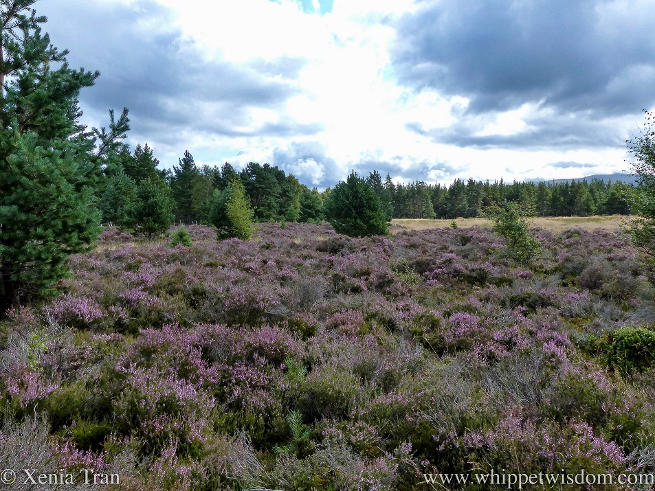 blooming heather in the foreground beside a pine forest
