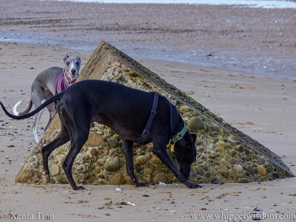 a smiling blue and white whippet and a black whippet beside a WWII defence block in the sand