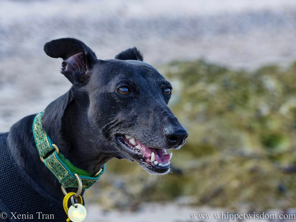 close up head shot of a black whippet on the beach