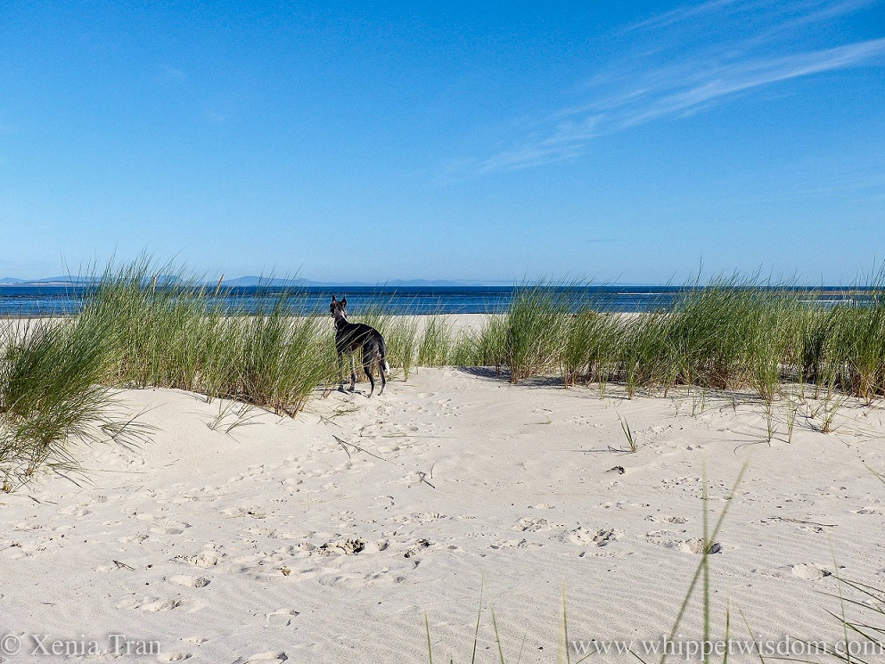 a blue and white whippet standing between bent grass in the dunes, looking out over the sea