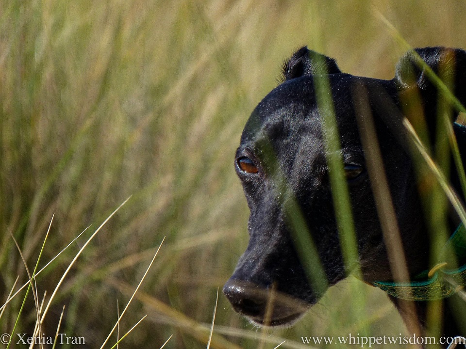 a part focused shot of a black whippet's face between bent grass