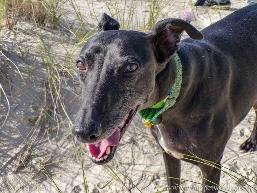 a smiling black whippet in the dunes