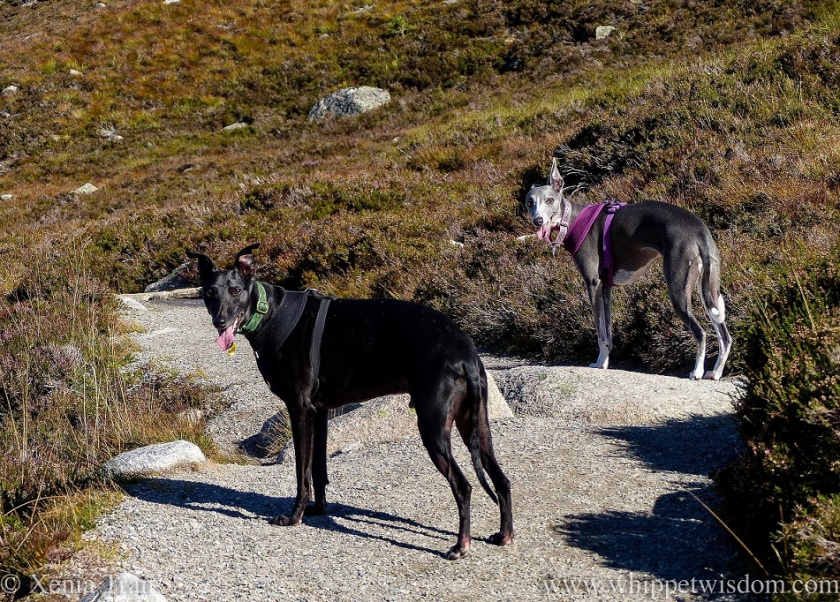 a black whippet and a blue and white whippet on a mountain trail