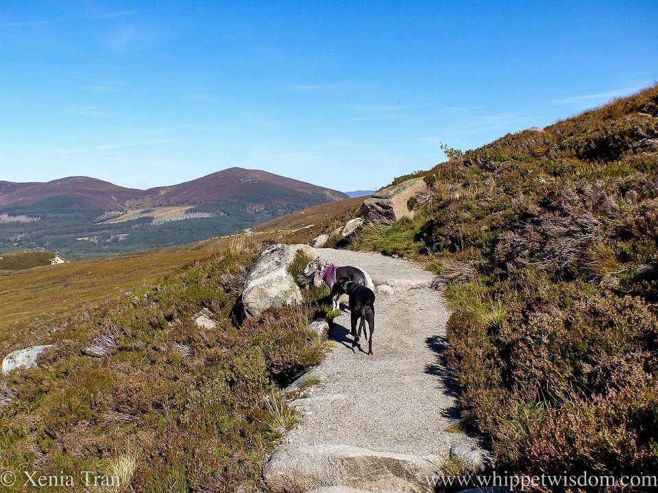 two whippets on a mountain trail in the Cairngorms