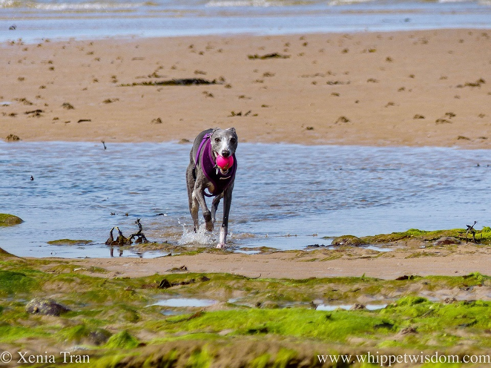a blue and white whippet walking through a tidal pool with a pink ball