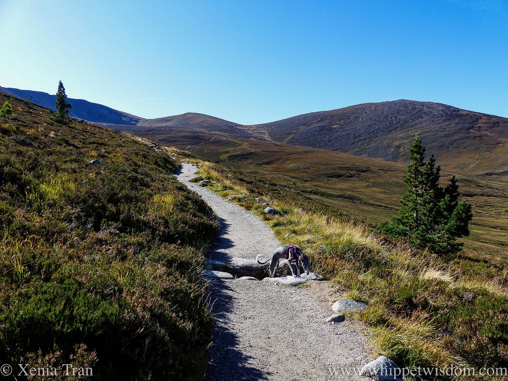 a blue and white whippet on a mountain trail in the Cairngorms