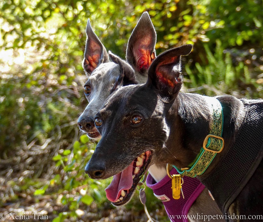 close up head shot of two whippets with ears on full alert
