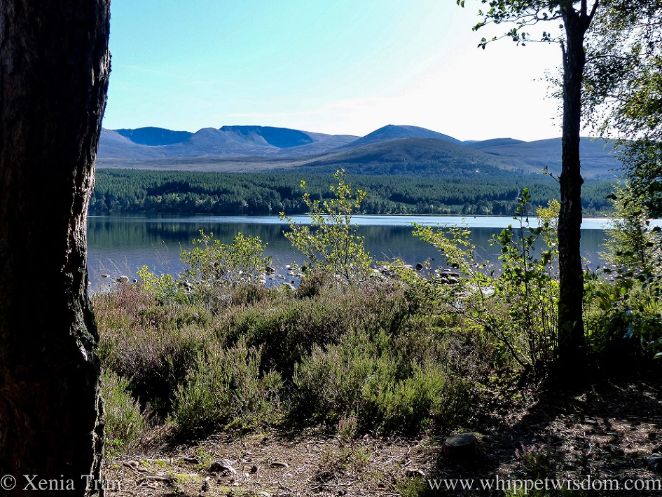 a view of Loch Morlich and the Cairngorm mountains beyond from the woods