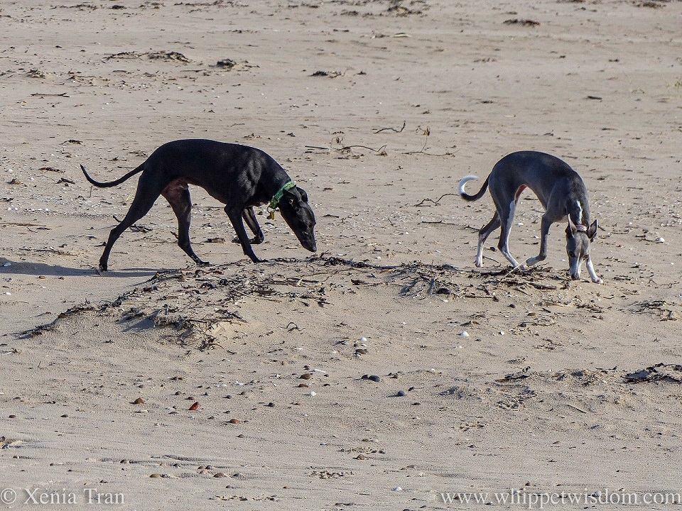 two whippets sniffing the seaweed on the beach