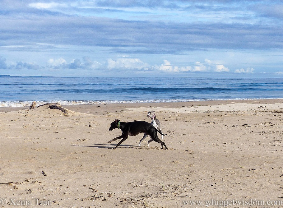 two whippets playing on the beach, a calm sea behind them