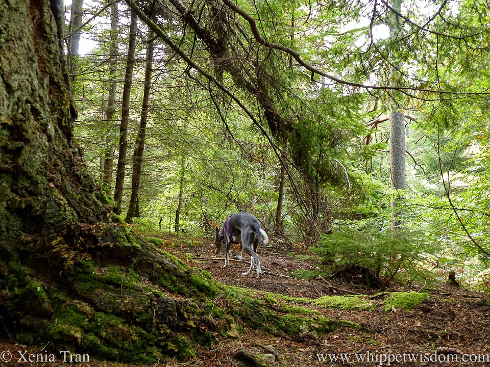 a blue and white whippet climbing a forest trail beside a large fir tree