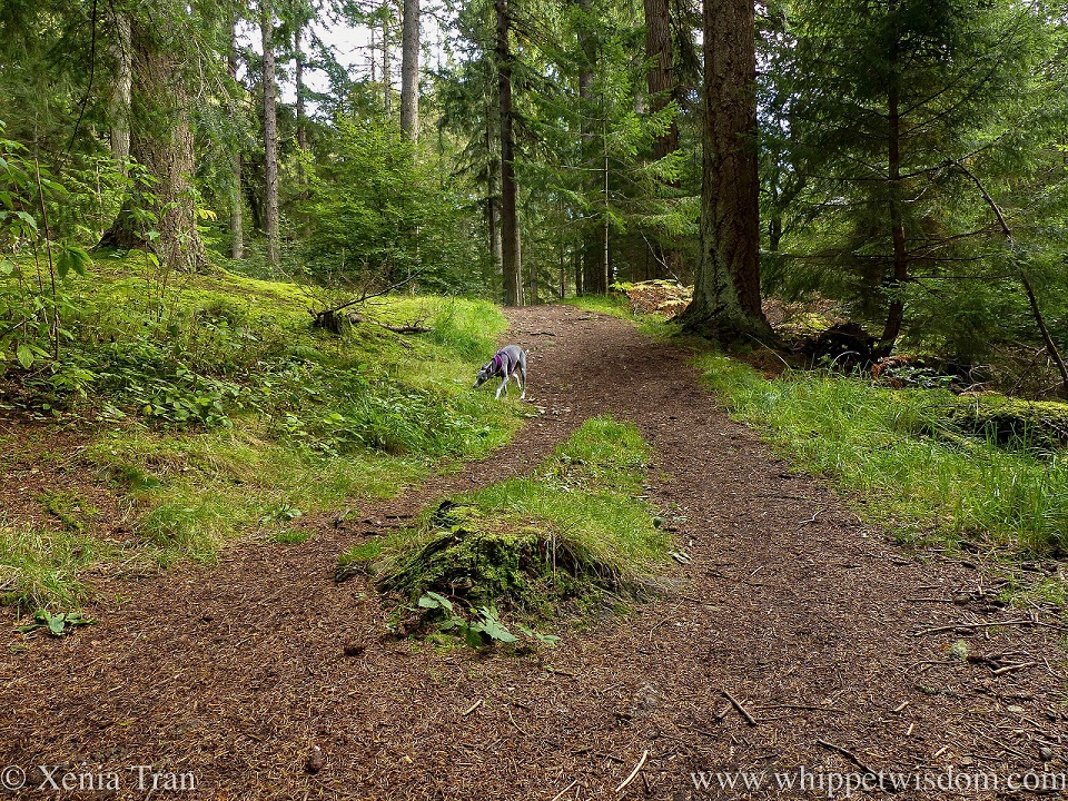 a blue and white whippet sniffing the grass on a forest trail