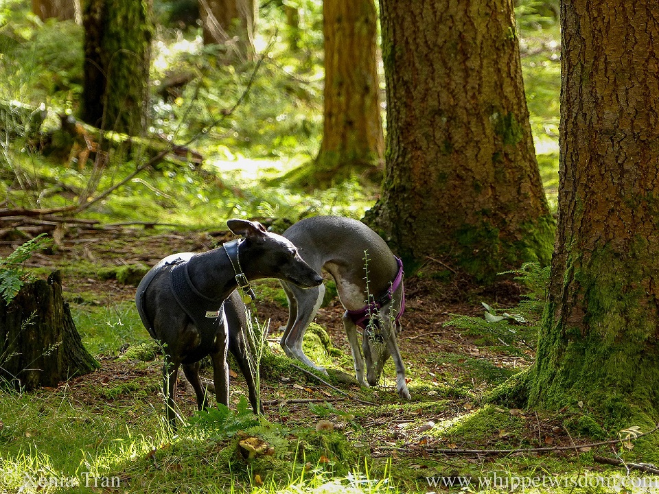 two whippets pausing between trees in a forest