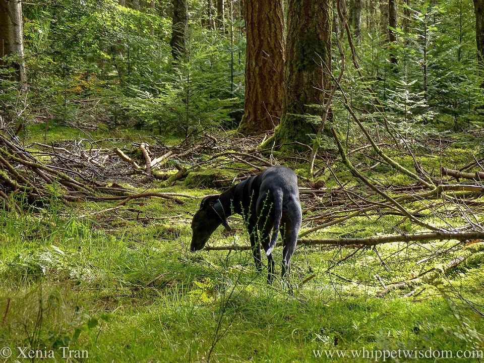 a black whippet sniffing the tip of a fallen branch on the forest floor