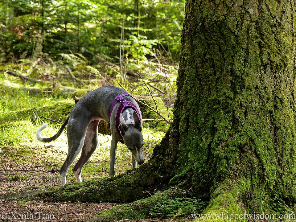 a blue and white whippet sniffing the trunk of a large fir tree
