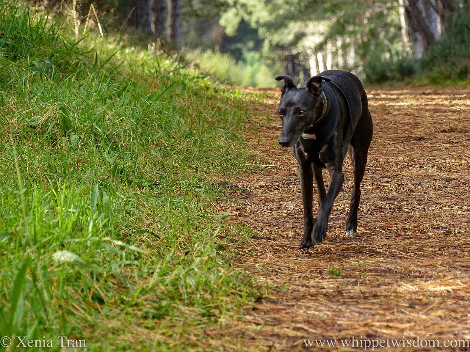 a black whippet walking along an an autumn forest trail