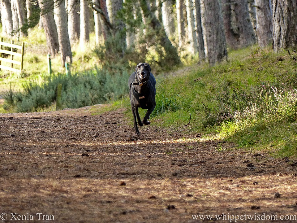 a smiling black whippet sprinting along a forest trail